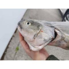 加拿大野生黑鳕鱼 1LB(价格以实际重量为准)